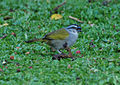 Black-striped Sparrow.jpg