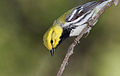 Black-throated-green-warbler-69.jpg