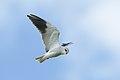Black-winged (black-shouldered) kite, Elanus caeruleus, at Marievale, Gauteng, South Africa (45979034625).jpg