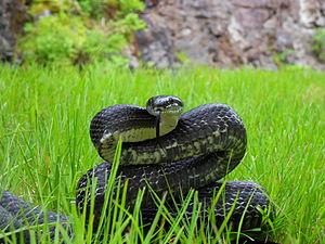 Rat snake - Black rat snake, Pantherophis obsoletus