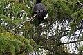 Black Squirrel 0715 (4552014908).jpg