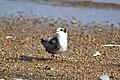 Black Tern (Chlidonias niger) (15112083257).jpg
