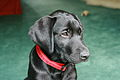 Black labrador puppy (2754855796).jpg