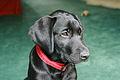 Black labrador puppy (2754855796).jpg