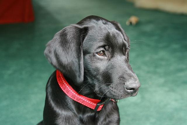 Labrador Welfare Dogs Seeking Homes