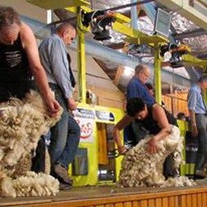 Blade shearing - Blade shearers competing at The Waimate spring shears