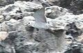Blue-grey Noddy (cropped).jpg