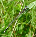 Blue Featherleg. Platycnemis pennipes. Mature Male - Flickr - gailhampshire.jpg