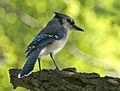 Blue Jay (Cyanocitta cristata).jpg