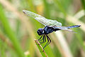 Blue basker urothemis edwardsii.jpg