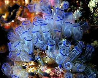 Tunicate - Clavelina moluccensis, the bluebell tunicate.
