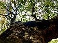 Blueberry tree in Vizag.jpg