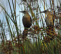 Boat-tailed Grackles at Lake Woodruff National Wildlife Refuge - Andrea Westmoreland.jpg