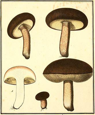 Boletus aereus - Boletus aereus illustrated in Bulliard's 1789 work Champignons de la France