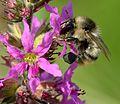 Bombus sylvarum - Lythrum salicaria - Keila.jpg