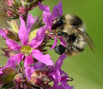 Lythrum salicaria - Pollinating shrill carder bee