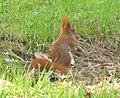 Botanischer Garten - Eichhoernchen (Red Squirrel) - geo.hlipp.de - 35119.jpg