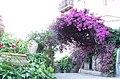 Bougainvillea-Hotel San Domenico-Taormina-Sicilia-Italy-Castielli CC0 HQ - panoramio - gnuckx (2).jpg