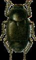 Brachyleptus quadratus var. canescens Jacobson.png
