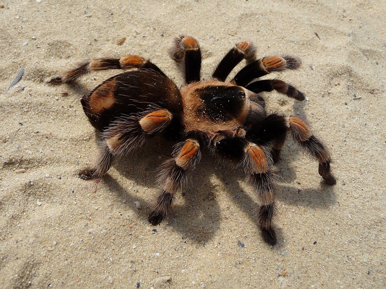 Tarantula - Exotic Pets