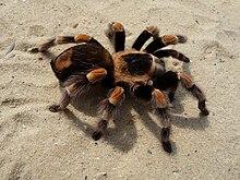 Aranha da especie Brachypelma auratum.
