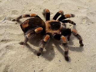 Tarantula Family of spiders