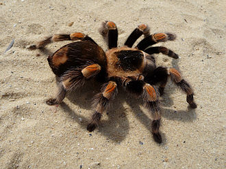 Tarantula - Mexican redknee tarantula, presumably Brachypelma hamorii