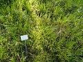 Brachypodium sylvaticum - Botanical Garden, University of Frankfurt - DSC02571.JPG