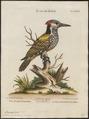 Brachypternus aurantius - 1700-1880 - Print - Iconographia Zoologica - Special Collections University of Amsterdam - UBA01 IZ18700337.tif