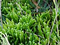 Brachythecium albicans 61250578.jpg