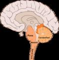 Brain bulbar region.PNG