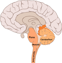 Pons wikipedia pons brain bulbar regiong ccuart Image collections