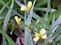 Brassica tournefortii flowers closeup 2010-1-24 SierraMadrona.jpg