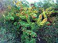 Brazilian Pepper (2969123381).jpg