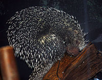 Brazilian Porcupine at Louisville Zoo.jpg