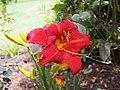 Bright Red Daylily.jpg