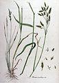 Bromus secalinus — Flora Batava — Volume v10.jpg