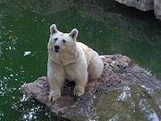 تقرير عن الدب . 180px-Brown-bear-biblica-zoo