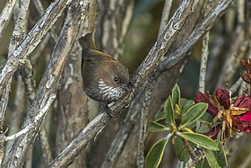 Brown-throated ( Ludlow ) Fulvetta - Sela Pass - Arunachal Pradesh - India FJ0A8528 (33918645720).jpg