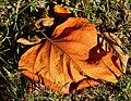 Brown leaf - Flickr - Stiller Beobachter.jpg