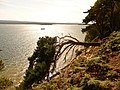 Brownsea Island, sideways tree on south cliff - geograph.org.uk - 1446265.jpg