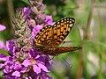Brunfläckig pärlemor2 - Flickr - Ragnhild & Neil Crawford.jpg