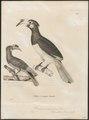 Buceros convexus - 1700-1880 - Print - Iconographia Zoologica - Special Collections University of Amsterdam - UBA01 IZ19300177.tif
