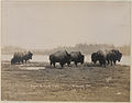 Buffalo at Silver Heights (HS85-10-15564).jpg