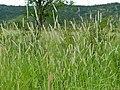 Buffelgrass (Cenchrus ciliaris) (12882285943).jpg