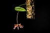 File:Bulbophyllum longiflorum '1804 Climb' (Red deep spot) Thouars, Hist. Orchid. t. 98 (1822) (47496968741).jpg