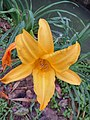 Bunga Lily.jpg