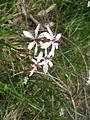 Burchardia umbellata flower12 SWS - Flickr - Macleay Grass Man.jpg