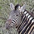 Burchell's zebra (Equus quagga burchellii) head.jpg