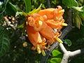 Burchellia bubalina, bloeiwyse, a, Manie van der Schijff BT.jpg